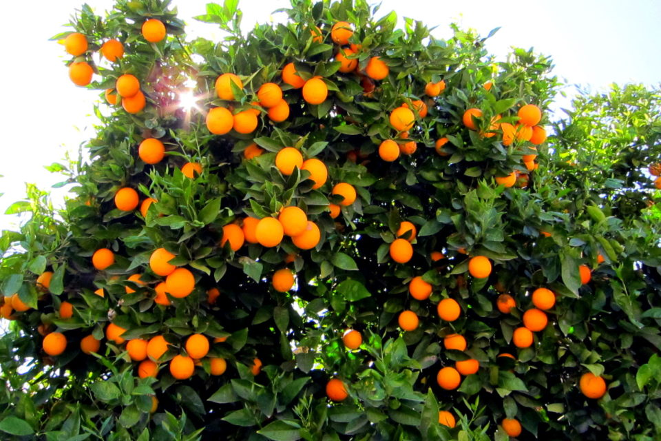 Drone For Orange Cultivation