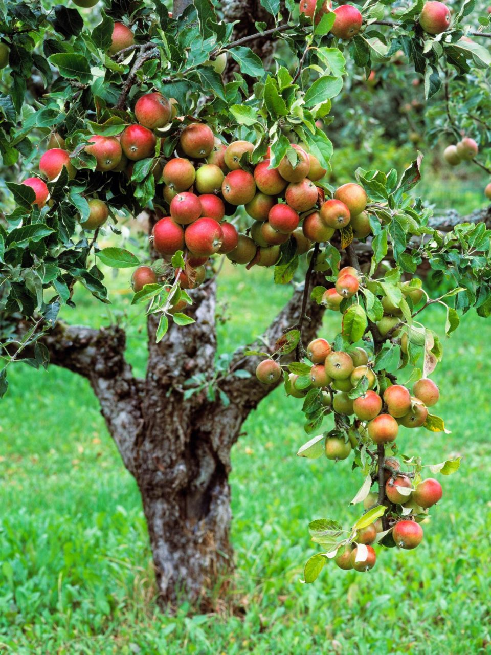 Drones For Apple Orchards