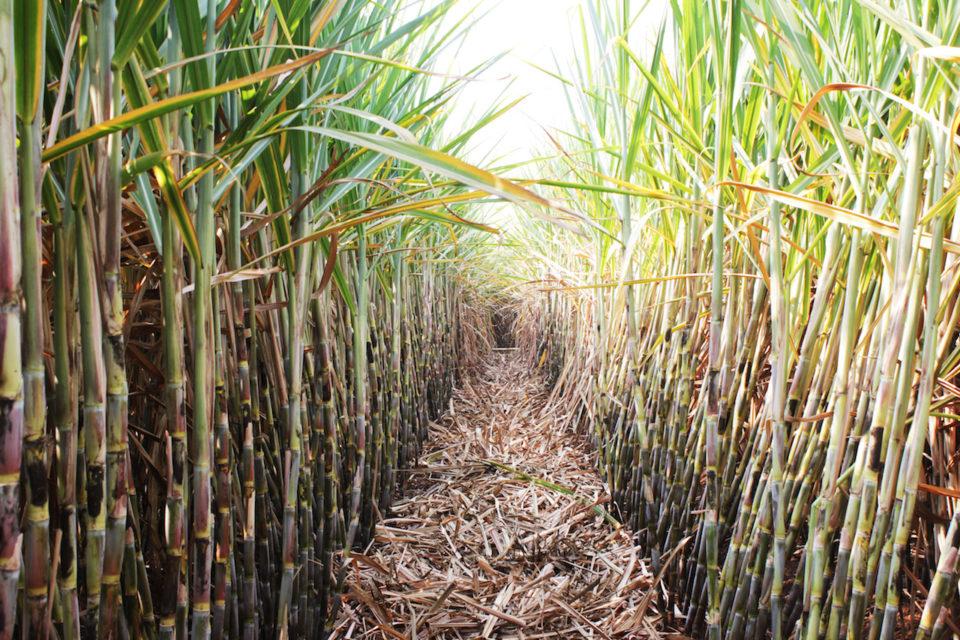 Drones Help In Sugarcane